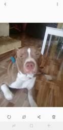 Cachorro raça Pitbull