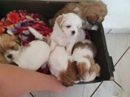 Vendo filhotes de lhasa entrega em janeiro