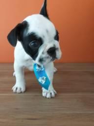 Gostosuras de Bulldog francês a pronta entrega