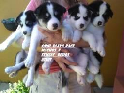 Husky Siberiano : Machos e Femeas pelagem longa olhos azuis