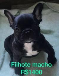 Filhote Buldogue francês macho