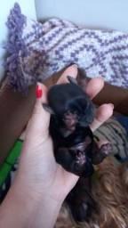 Título do anúncio: Fêmeas yorkshire mini terrier @!!!