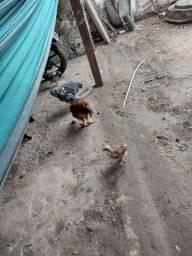 Título do anúncio: Vendo um galo e uma galinha e 2 pintinhos