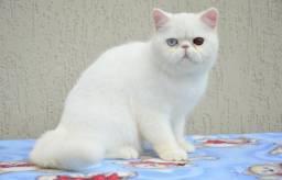 Gato exótico para cobertura