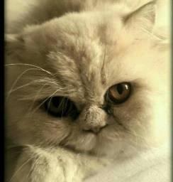 Gato persa adulto