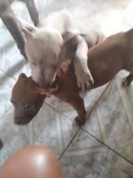 VENDO um casal de pitbull