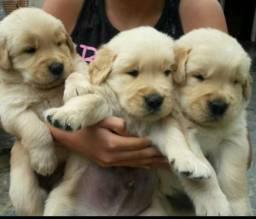 Fofinhos filhotes de Golden retriever garanta o seu !