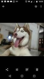 Husky (Macho) procura namorada!