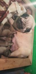 Disponível filhote de pug macho