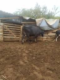 Vendo 5 vacas