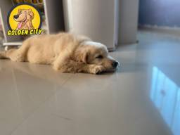 Filhote Golden Retriever Macho