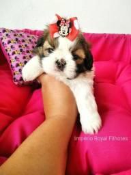 Título do anúncio: Shihtzu Fêmea muito Linda com Pedigree! * Império Royal Filhotes