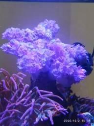 Coral Xênia Pompom Pulsante