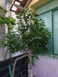 Árvore frutífera canela