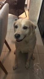 Labrador Retriever Macho Procura Fêmea para cruzar