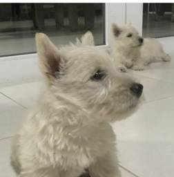 Scottish terrier com pedigree 1 macho , 1 femea trigo