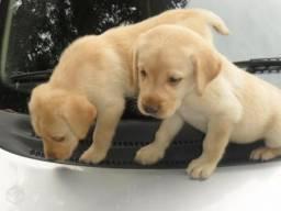 Labrador femea com Garantia e procedencia