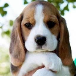 Filhotes de Beagle machos disponíveis!