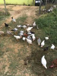 Vendo galos e frangos caipira.