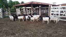Vendo Ovelhas lote c/ 17