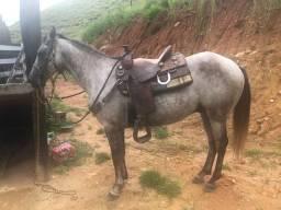Cavalo meio sangue QM