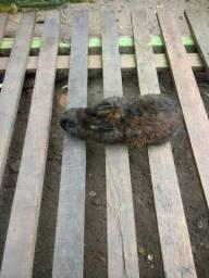 Vende se 2 coelhos adultos, 1 macho, e uma fêmea, 15 reais cada um, pra vim buscar