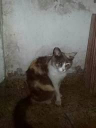 Doação gata adoção gato fêmea rio de janeiro rj Mesquita Nova Iguaçu