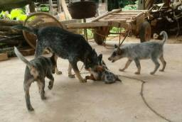 Filhotes de blue heller - Australian Cattle Dog