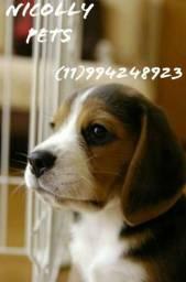 Beagle Fêmea lindas