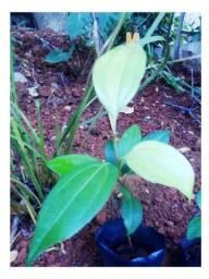 Canela verdadeira - Cinnamomum zeylanicum (muda de planta)