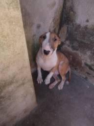 Vendo Bull Terrier Fêmea