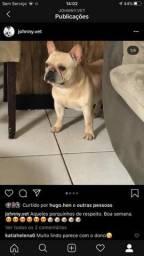 Bulldog francês para cruza
