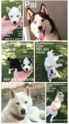 Vendo lindos filhotes de husky