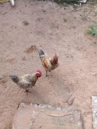 Vendo ou troca por duas galinhas