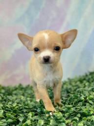 Os Chihuahuas mais perfeitos do PR!