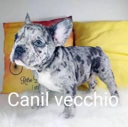 Macho Bulldog Francês BLUE Merle
