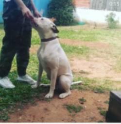 Cão Boxer Branco para guarda