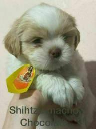 Shihtzu o presente que todos vão adorar