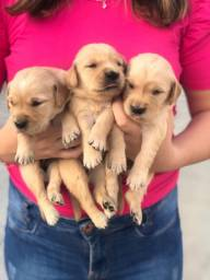 Lindos Golden retriever com pedigree e microchip até18x