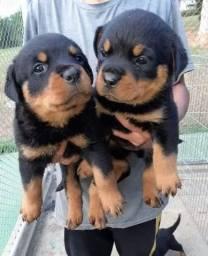 Filhotes de Rottweiler Cabeça de Touro