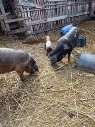 3 porcos