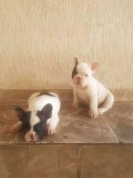 Vendo lindos filhotes de Bulldog francês já vacinados