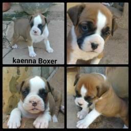 Filhotes de Boxer Puros