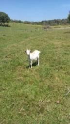 Vendo uma cabra