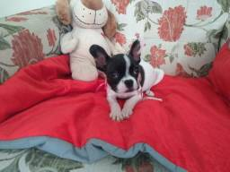 Bulldog Francês filhote fêmeaem promoção