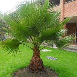 Mudas de palmeira washingtonia *