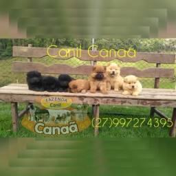 Canil Canaã #Chow Chow Fofinhos- (27)997274395
