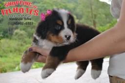 Bernese Mountain Dog, filhotes maravilhosos 11 9.5932-0322