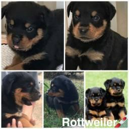 Rottwailer com pedigree e microchip em ate 18x