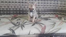 Linda Fêmea de Chihuahua